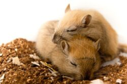 do gerbils sleep together