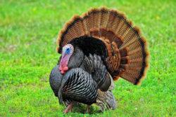 Wild make turkey